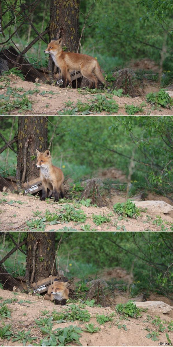 Лисенок Вот такую морду друг встретил в лесу, совсем не далеко от города Одинцово (Московская область). Два его сородича убежали, а этот смельчак остался по позировать)  лисенок, лиса, лисья морда, одинцово, природа, фото