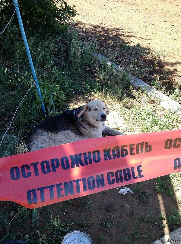 Кабель   собака, осторожно