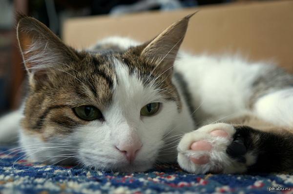 Друзья дали погонять кота на неделю, сами уехали отдохнуть. Я счастлива! Его зовут Кекс :)  кот, кекс
