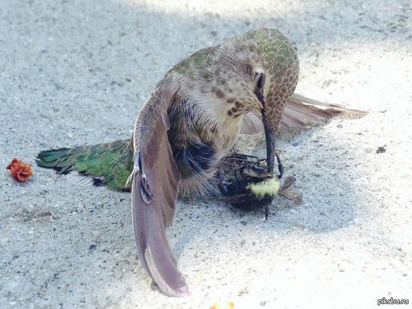 Во время полета колибри столкнулся с пчелой, результат - насаженное на клюв насекомое.   колибри, пчела, авария