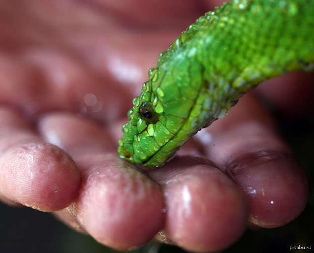 зелёная мамба фото