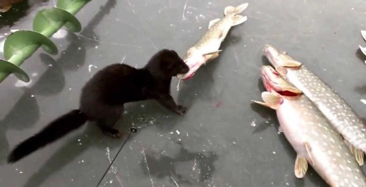 видео животные ловят рыбу