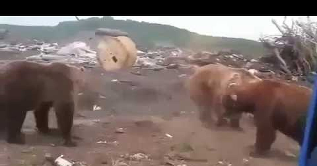 видео медведи на свалке комсомольск на амуре